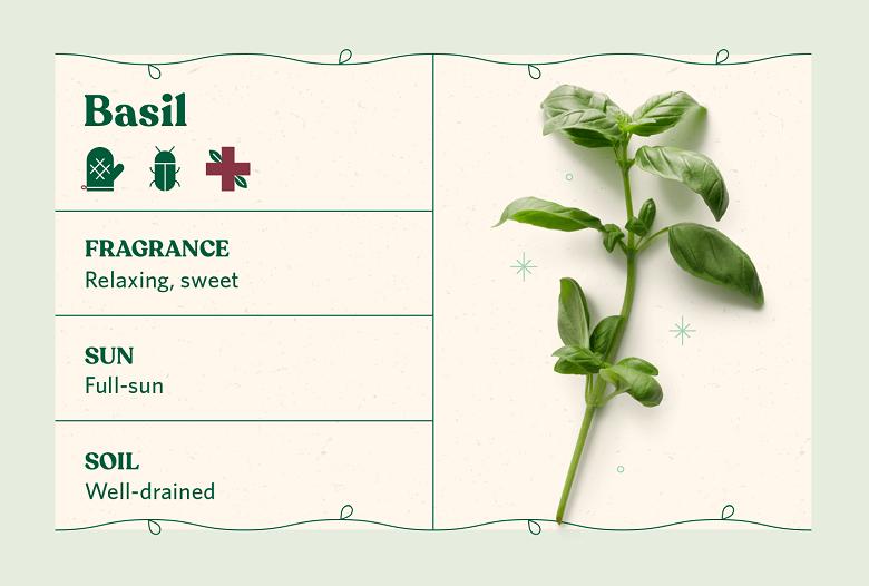 basil herb care