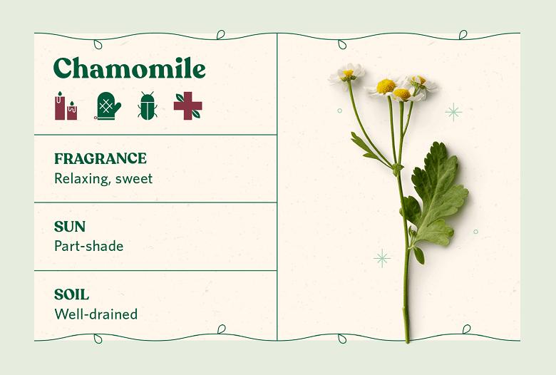 Chamomile herb care