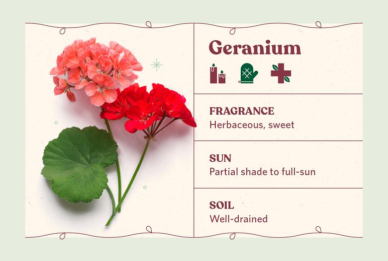 scented geranium herb care