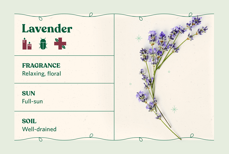 lavender herb care