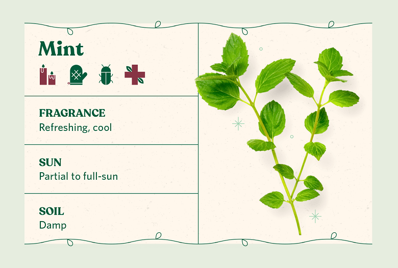 Mint herb care