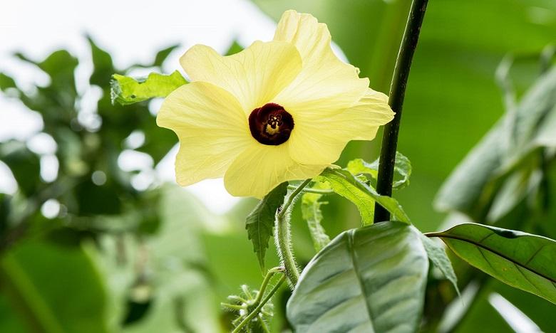 ambrette flower
