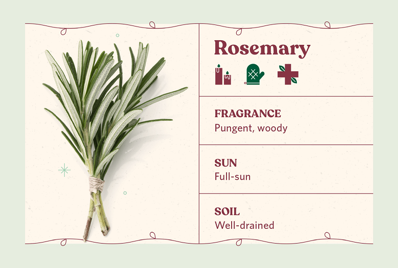 Rosemary herb care