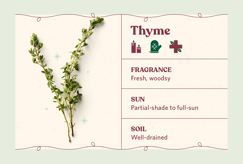 Thyme herb care